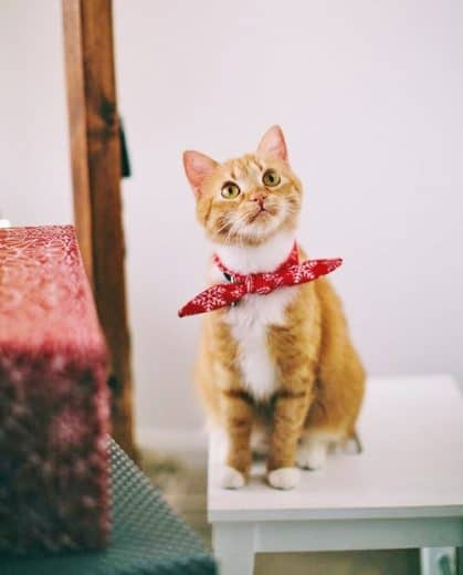 Cat with red hankerchief. Easy DIY 4th of July party ideas using pets.